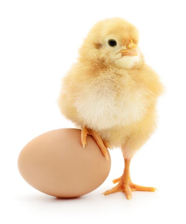 Küken mit einem Bein lässig auf einem Ei abgestützt